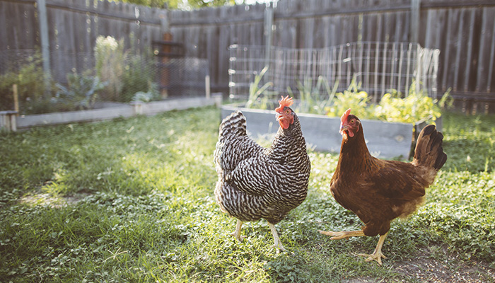 Backyard Hens